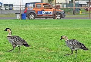 Two nēnē cruise at Kapa'a New Town Park.