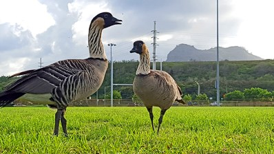 Two nēnē are seen here at Kapa'a New Town Park with the Sleeping Giant mountain on the background.