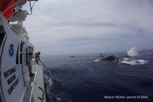 NOAA staff is seen here using cameras on the end of poles to document the health of the entire animal. Courtesy J. Moore – HIHWNMS/ NOAA Permit # 15240