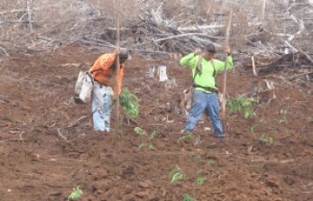 Contract workers are seen here replanting koa seedlings in Kokee. Video grab DLNR