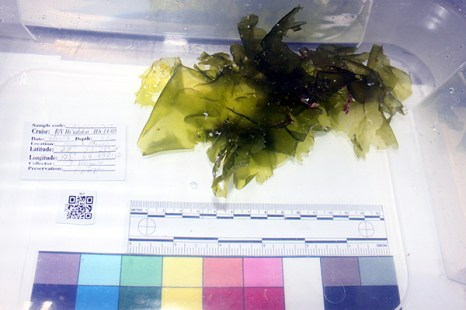 new-deep-water-algae-umbraulva_kaloakulau_24737901466_o