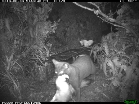 A feral cat caught caught by a night-vision camera is seen here dragging a seabird. Photo courtesy of DLNR.