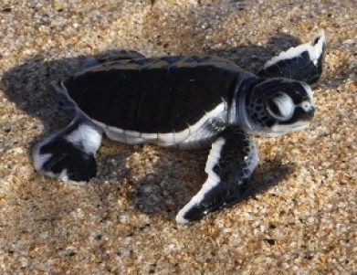 A newly hatched green sea turtle. Photo courtesy of Rebecca Johnson
