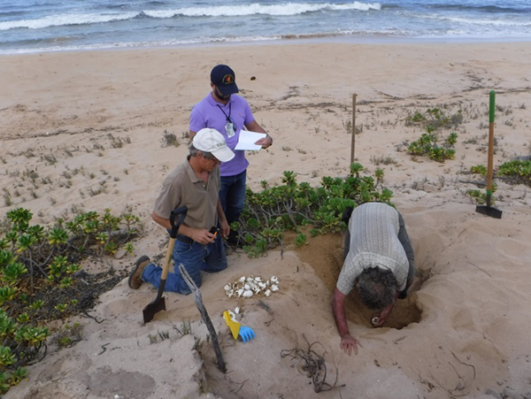 PMRF turtle nest excavation. Photo courtesy of Rebecca Johnson