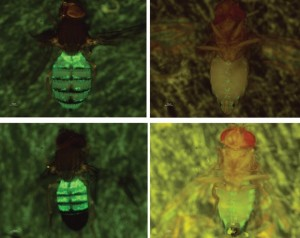 The wax-producing cells of Drosophila have been genetically labeled with a green fluorescent marker, allowing the cells to be visualized in live flies. Photos courtesy of Yin Ning Chiang and Joanne Yew