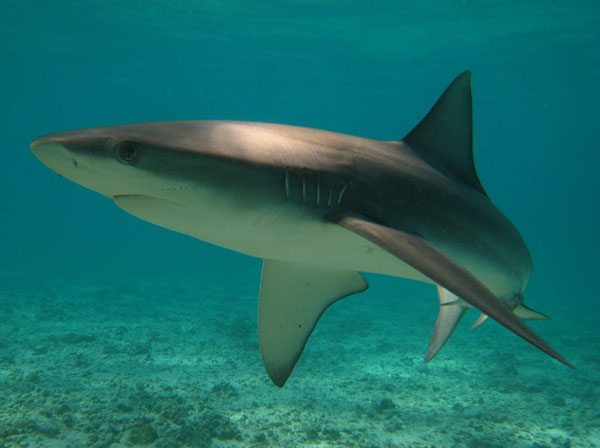 The Galapagos shark (Carcharhinus galapagensis, Manō in Hawaiian) are a fairly common sight in the protected waters of Papahānaumokuākea Marine National Monument. This species normally occurs in deeper coastal waters, but can found in shallow near-shore reefs in the Monument where food is abundant. Often confused with the Gray reef shark (Carcharhinus amblyrhynchos), the Galapagos is differentiated by its larger dorsal fin and has a low ridge on its back between dorsal fins. If you are lucky enough to encounter these graceful creatures, odds are they will be found in a small school. They can also be very curious, often approaching just out of reach of a relaxed (or sometimes not) scuba diver. They are reported to reach a length of 11.5 feet and can be found in all tropical seas. Photo by Yumi Yasutake