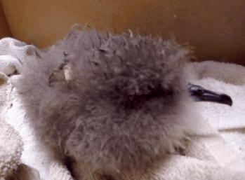 A Newell's shearwater chick found late August in Na Pali. Video grab courtesy DLNR