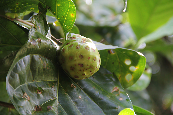 A noni fruit at NTBG's Canoe Garden. Photo by Léo Azambuja