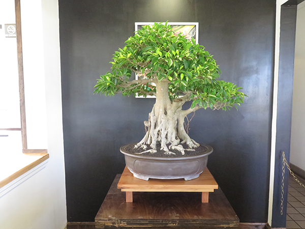 The Japanese bonsai (literally 'planted in a container') tree was derived from an ancient Chinese horticulture, and redeveloped in Japan partly under the influence of Zen Buddhism.