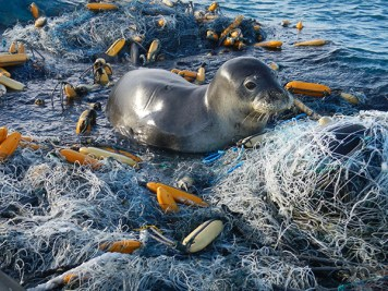 A Hawaiian monk seal swimming among discarded fishing nets near Midway Atoll, 2017. Photo by NOAA