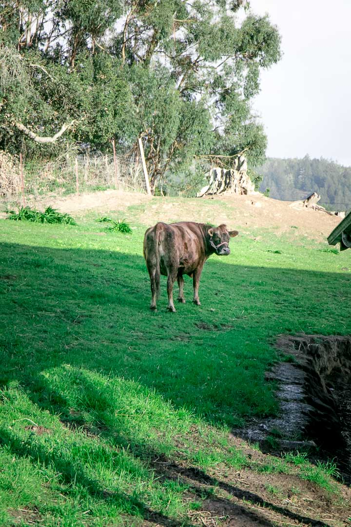 A cow in a green pasture.
