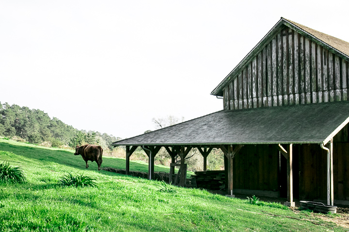 A cow in front of a barn at Pie Ranch in Pescadero, California.
