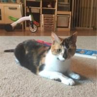 calico cat for kitty's sake adoption