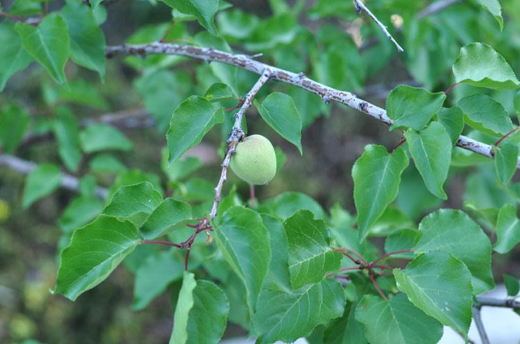 apricot2013