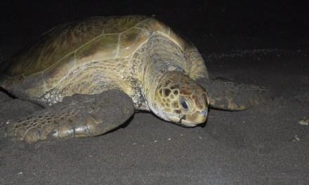 Protejamos a las tortugas marinas; comienza temporada de anidación