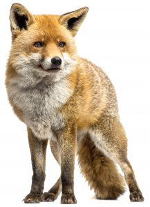 Stock image fox