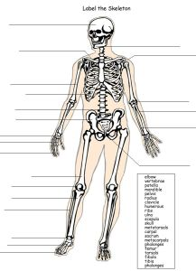Label the Human Skeleton