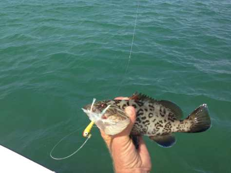 Baby Grouper, 3-5-14, Fort Myers Fishing Report & Charters ~ #FortMyersFishing.