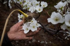 HANYUAN, CHINA -MARCH 25: Chinese farmer He Guolin, 53, hand pollinates flowers on a pear tree on March 25, 2016 in Hanyuan County, Sichuan province, China. Heavy pesticide use on fruit trees in the area caused a severe decline in wild bee populations, and trees are now pollinated by hand in order to produce better fruit. Farmers pollinate the pear blossom individually. Hanyuan County describes itself as the 'world's pear capital', but the long-term viability of hand pollination is being challenged by rising labor costs and declining fruit yields. A recent United Nations biodiversity report warned that populations of bees, butterflies, and other pollinating species could face extinction due to habitat loss, pollution, pesticides, and climate change. It noted that animal pollination is responsible for 5-8% of global agricultural production, meaning declines pose potential risks to the world's major crops and food supply. (Photo by Kevin Frayer/Getty Images)