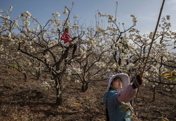 HANYUAN, CHINA - MARCH 25: Chinese farmers pollinate pear trees by hand on March 25, 2016 in Hanyuan County, Sichuan province, China. Heavy pesticide use on fruit trees in the area caused a severe decline in wild bee populations, and trees are now pollinated by hand in order to produce better fruit. Farmers pollinate the pear blossom individually. Hanyuan County describes itself as the 'world's pear capital', but the long-term viability of hand pollination is being challenged by rising labor costs and declining fruit yields. A recent United Nations biodiversity report warned that populations of bees, butterflies, and other pollinating species could face extinction due to habitat loss, pollution, pesticides, and climate change. It noted that animal pollination is responsible for 5-8% of global agricultural production, meaning declines pose potential risks to the world's major crops and food supply. (Photo by Kevin Frayer/Getty Images)
