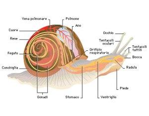 Gasteropode Anatomia