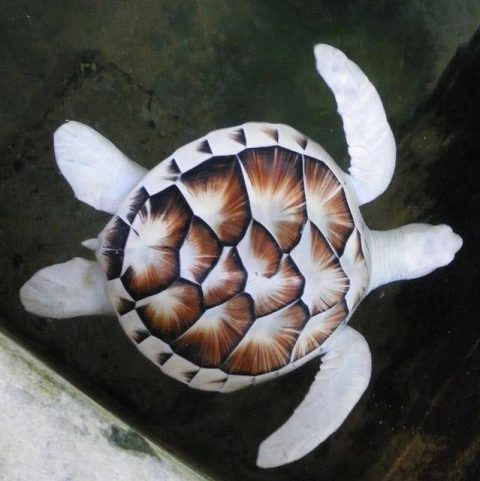 Tartaruga Albina