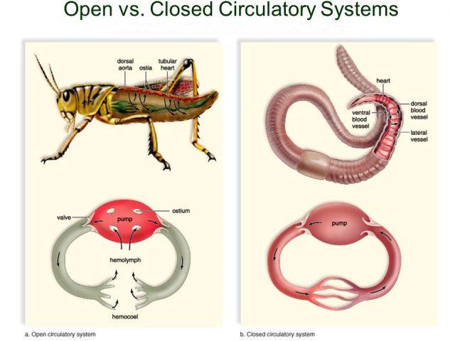 Sistema circolatorio Aperto e Chiuso