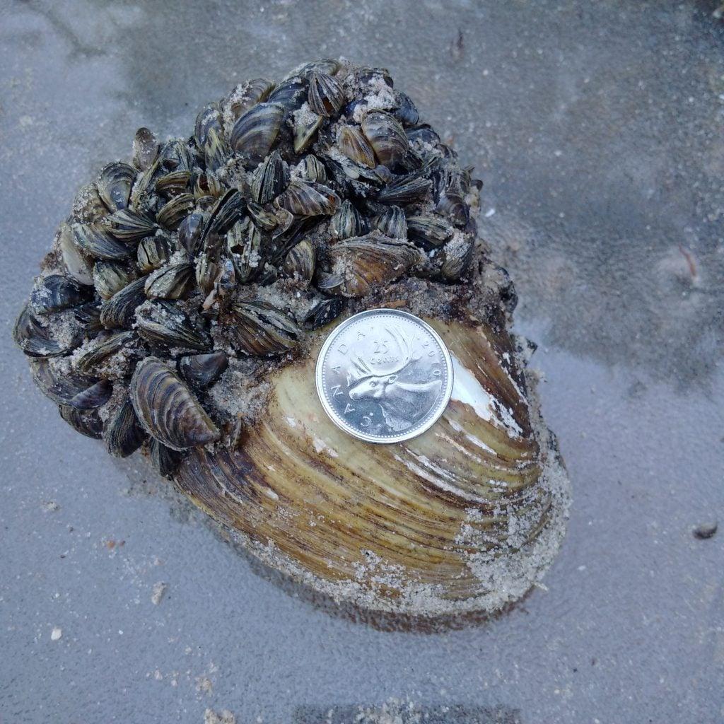 Zebra Mussels In Manitoba