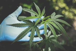 fresh cannabis leaves