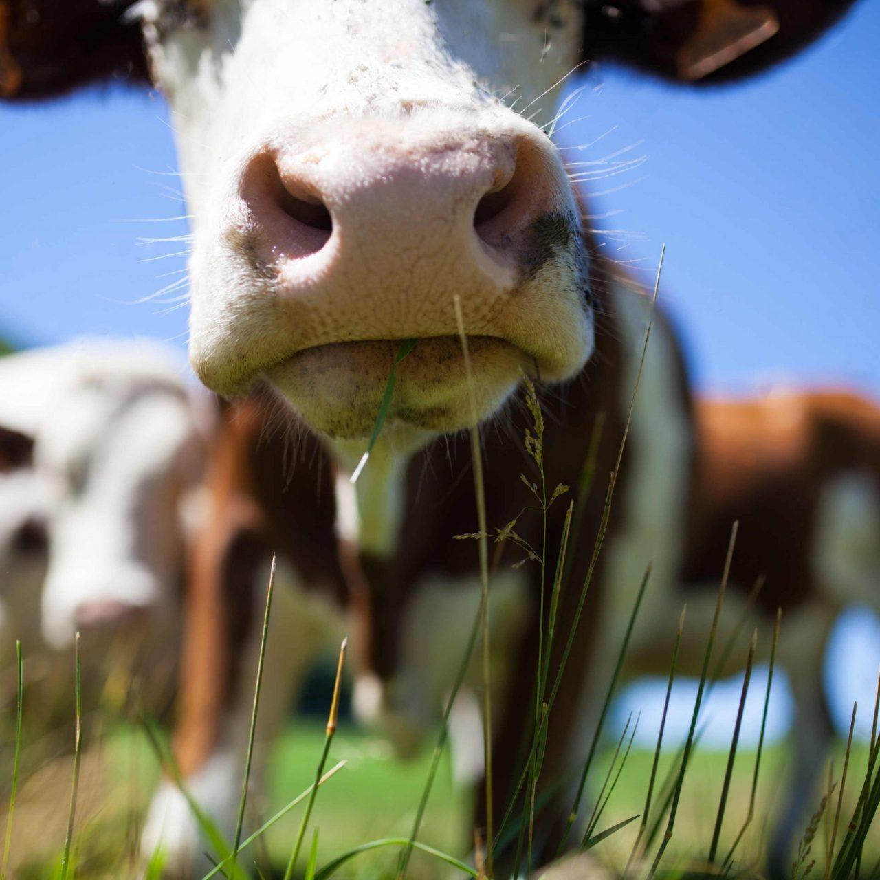 IoT applications in livestock