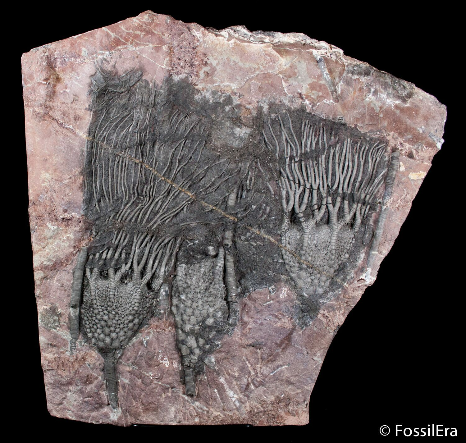 What Are Crinoids Fossils