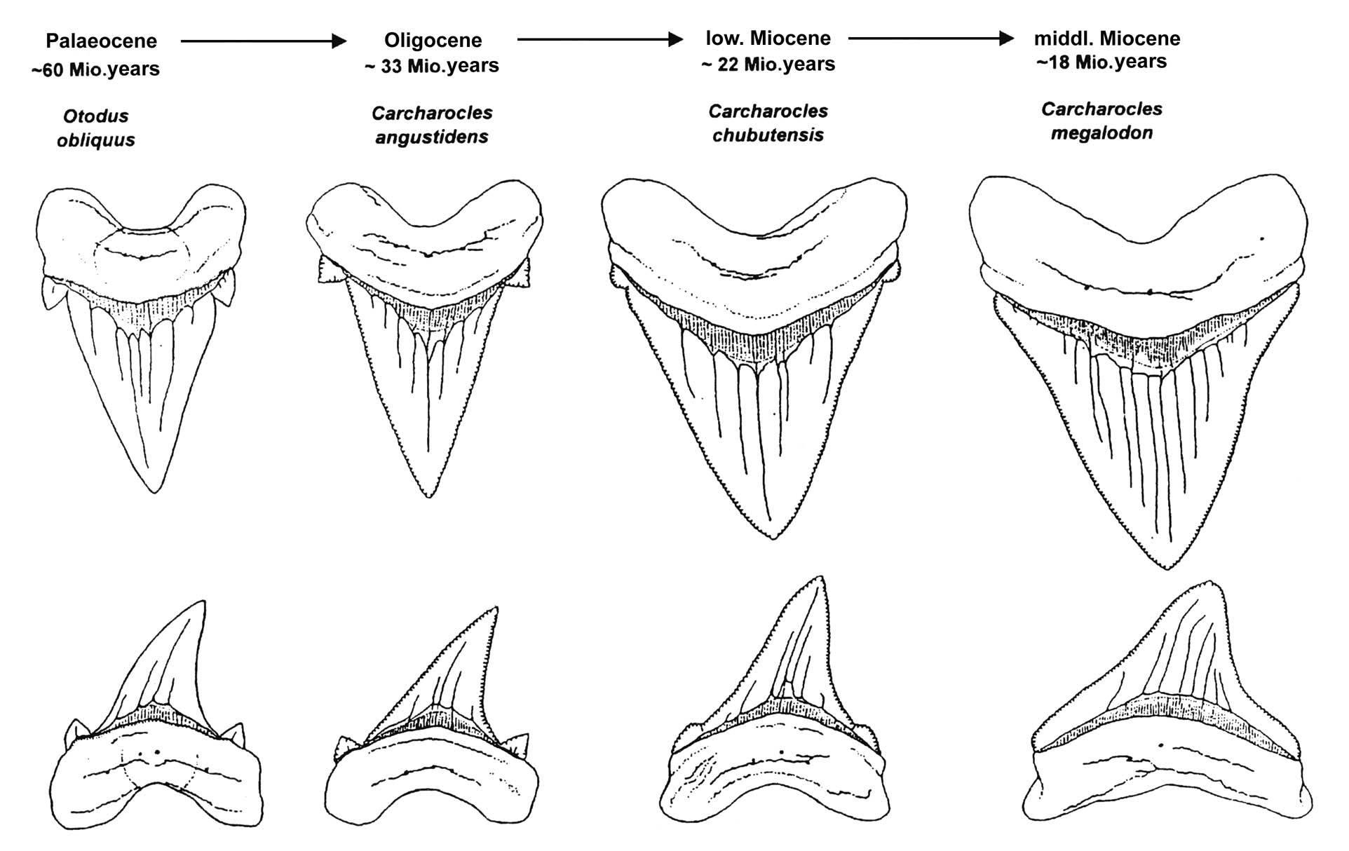 Megalodon Shark Evolution
