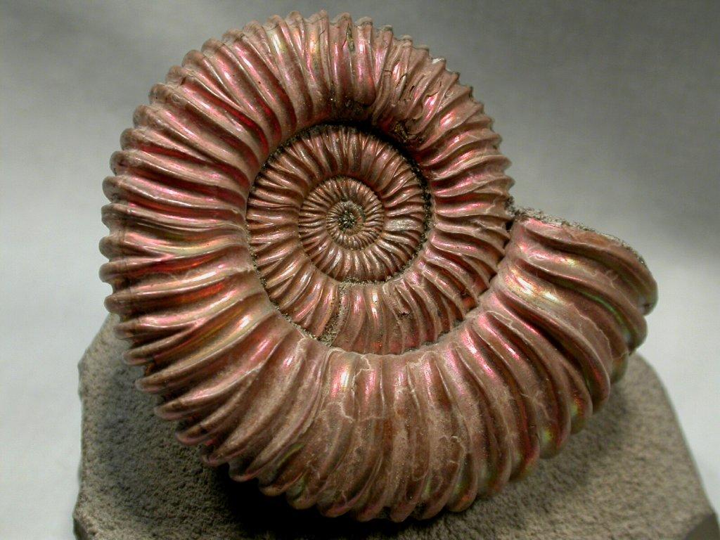 https://i1.wp.com/www.fossilmuseum.net/Fossil-Pictures/Ammonites/Ammonite-5/Ammonite-5-1024.jpg