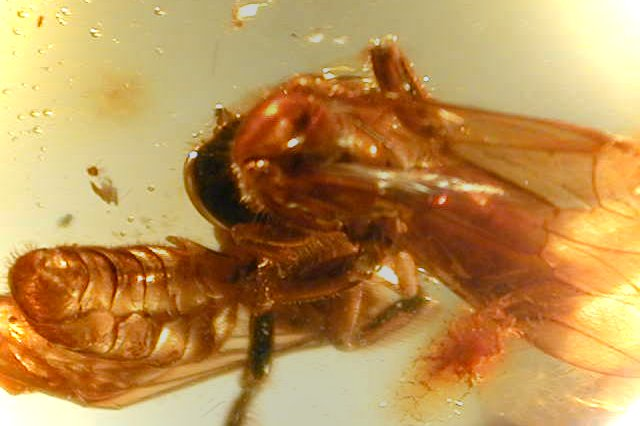 Fossil bees in amber