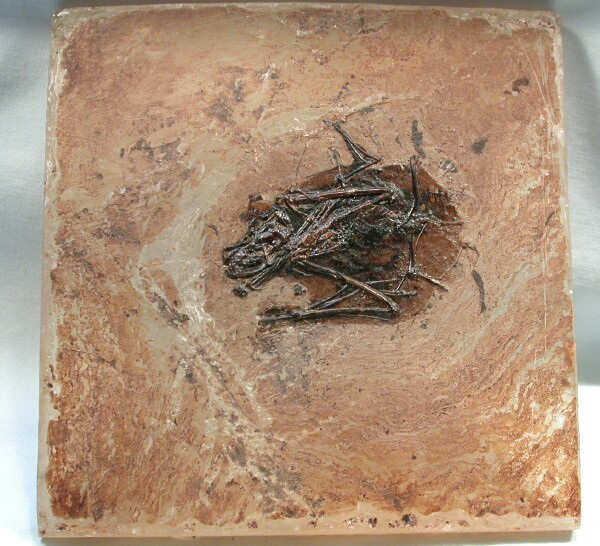 Fossil bat from Messel in Germany