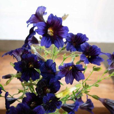 Salpiglossis flowers