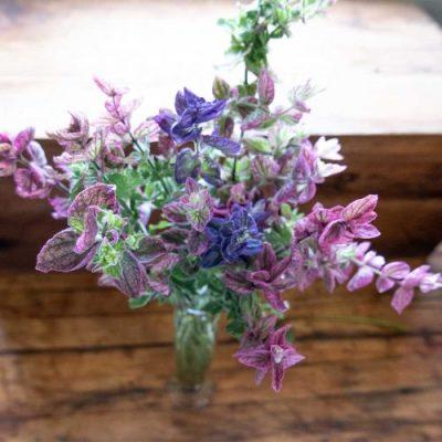 Salvia viridis foliage