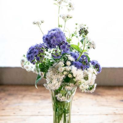 Ageratum - Flossflower