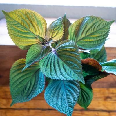 Perilla foliage