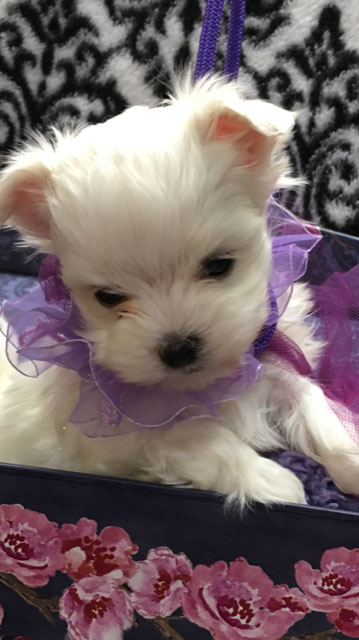 Fosters Maltese Maltese Puppies For Sale
