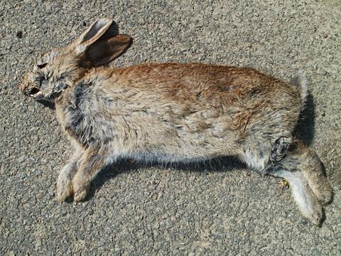 guernsey_rabbit1