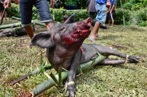 Slaughtered Pig