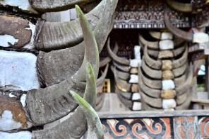 Bufalo Horns