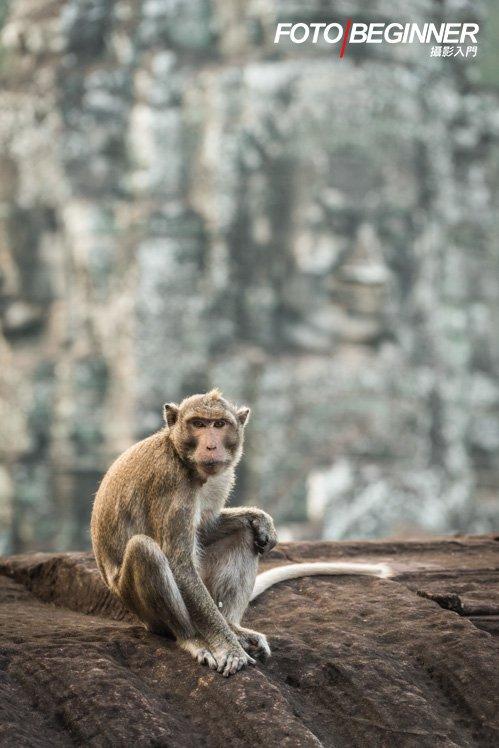 猴子剛好坐在雕像旁,要把握機會拍攝。 (Nikon D810 / f/4 / 200mm / 1/200s / ISO640)