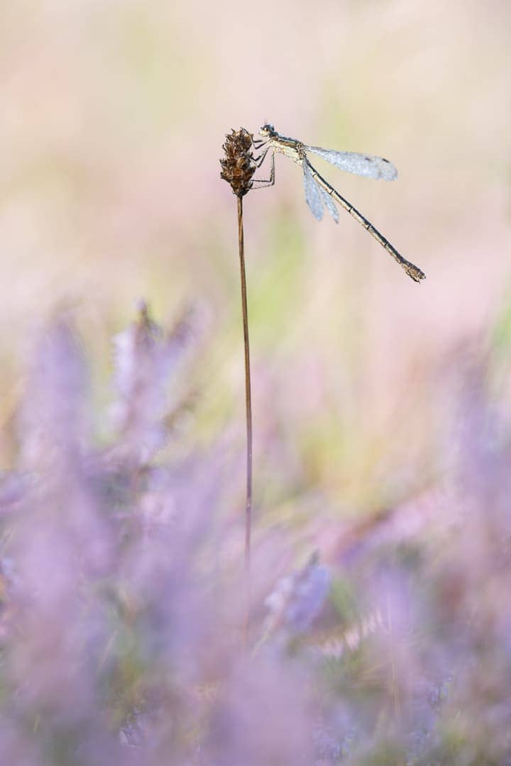 Dragonfly among Heather - Annahme - Torsten Christ