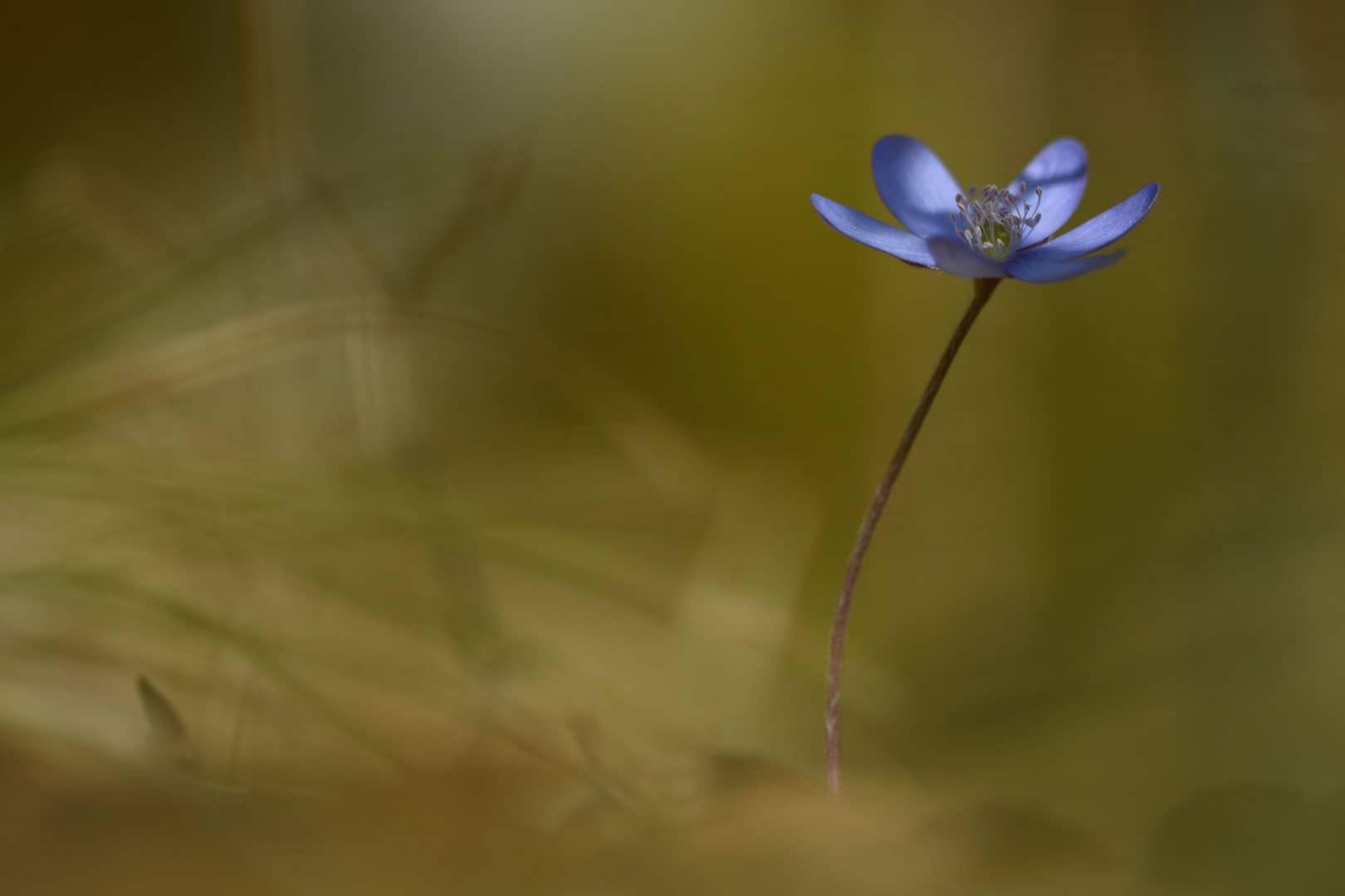 Leberblümchen - von Susanne Deinhardt