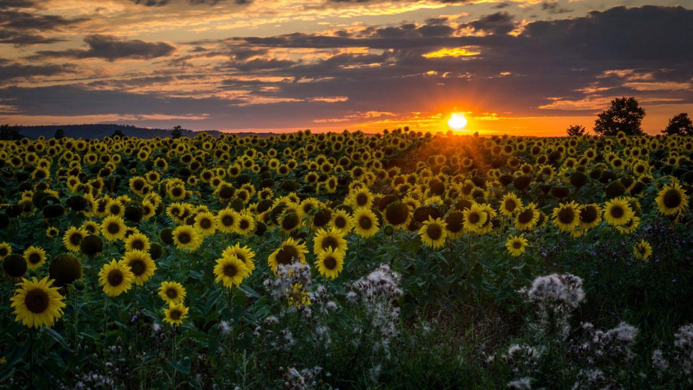 Sunflowers - von Friedrich Weigel