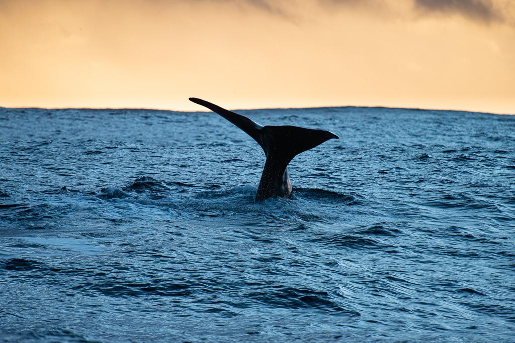 De walvisstaart van een potvis is heel indrukwekkend