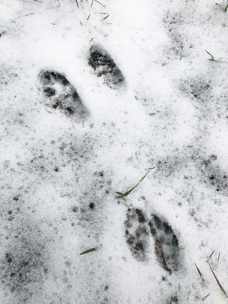 Prenten in de sneeuw