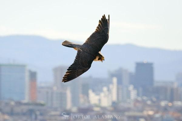 halcon-peregrino-alamany